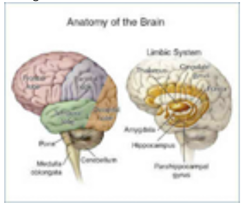 brain-anatomy